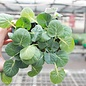 Edible  4-PACK Vegetable Brussels Sprouts