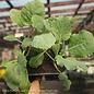 Edible 4-PACK Vegetable Collards