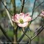#2 Cornus florida Pink/Dogwood
