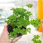 Edible 4 Inch Pot Herb Parsley Curled