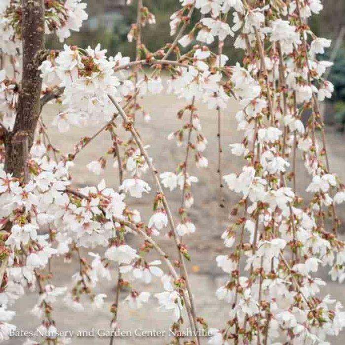 #10 Prunus serrula Snow Fountain/Red-Barked Weeping  Japanese White Flowering Cherry