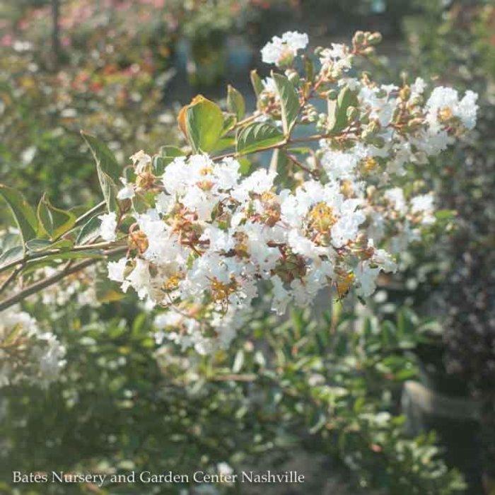 #7 Lagerstroemia indica x faueri 'Acoma'/Crape Myrtle Semi-Dwarf White