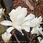 #15 Magnolia Royal Star/Deciduous White