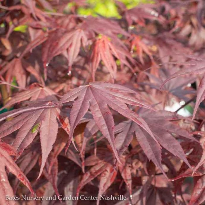 #5 Acer pal Bloodgood/Japanese Maple Red Upright