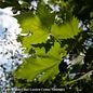 #15 Platanus x acerifolia 'Exclamation'/London Planetree Sycamore