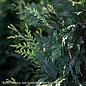 8-9ft Thuja (standish x plicata) 'Green Giant'/Western Arborvitae NO WARRANTY
