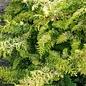 #6 Chamaecyparis obt Fernspray Gold/Hinoki Falsecypress