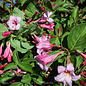 #3 Weigela Sonic Bloom Pure Pink/Repeat