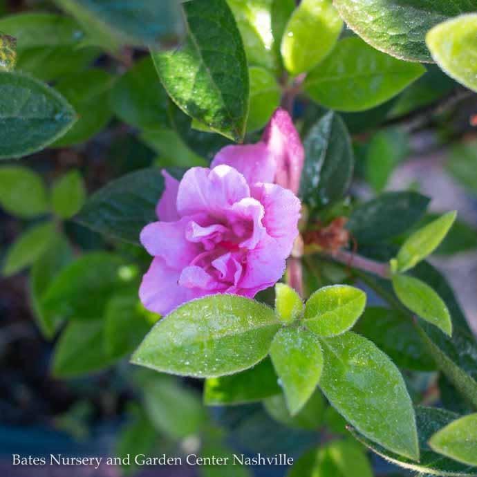 #2 Azalea Encore Autumn Carnation/Repeat/bubble-gum pink