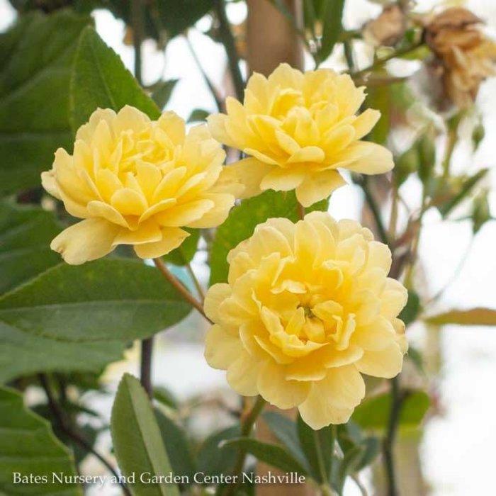 #5 Trellis Rosa Lady Banks Lutea/Yellow Climbing Rose NO WARRANTY