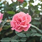 #5 Patio Tree Rosa Coral Knock Out/Rose