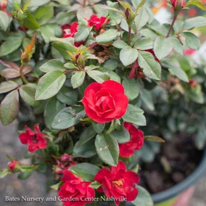 #2 Rosa Petite Knock Out Red/Miniature Shrub Rose NO WARRANTY