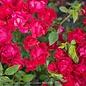 8P Rosa 'Meigalpio'/Red Drift Dwarf Shrub Rose NO WARRANTY