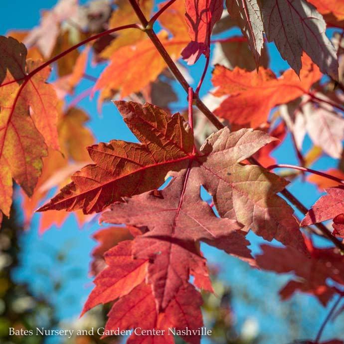 #25 Acer rubrum x freemanii Autumn Blaze/Red Maple
