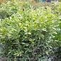 #2.5 Buxus sinica var. insularis 'Nana'/Dwarf Korean Boxwood