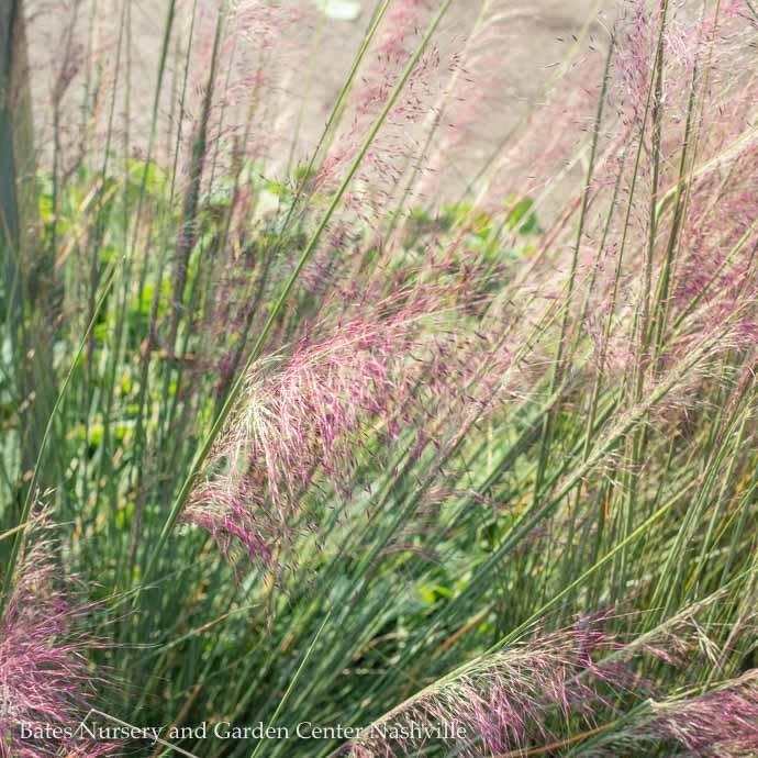 #2 Grass Muhlenbergia capillaris/Pink Muhly