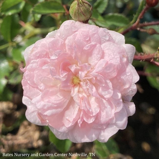 #3 Rosa The Fairy/Shrub Rose Pink  NO WARRANTY