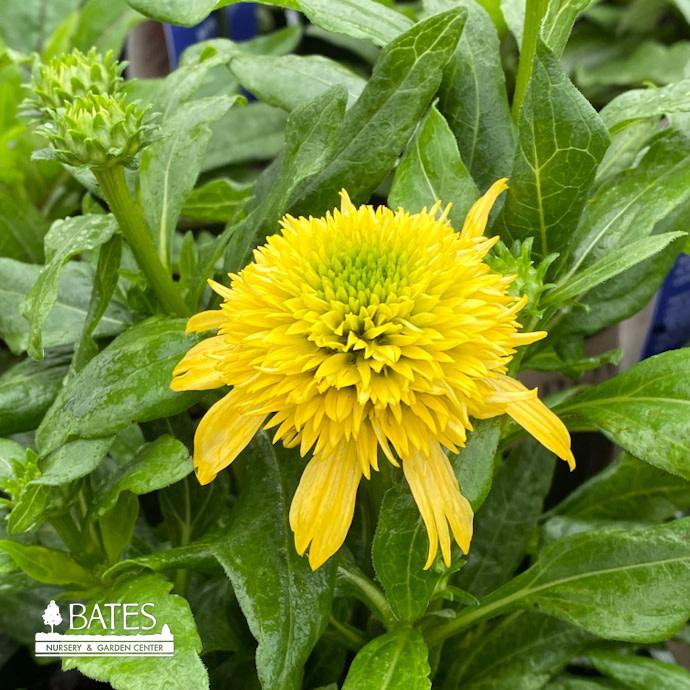 #1 Echinacea Sunny Days Lemon Double/Coneflower