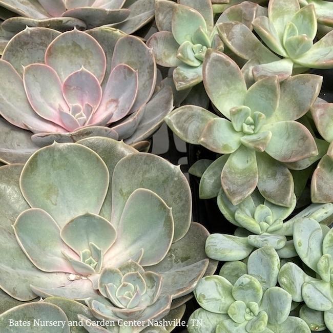 2.25p! Echeveria Succulent  Assorted /Tropical