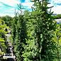 #20 5-6' Picea abies Cupressina/Columnar Norway Spruce