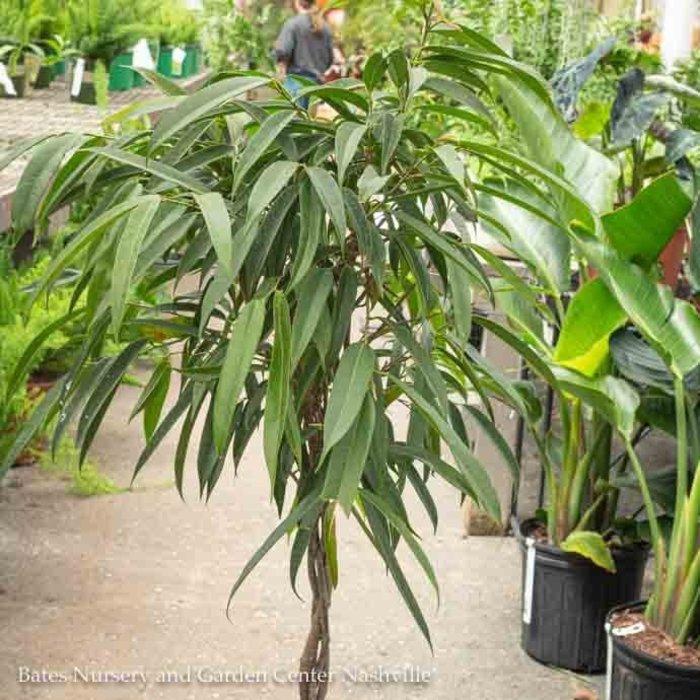 14p! Ficus Alii Braid or STD /Tropical