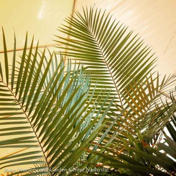 12p! Palm Ravenea R Multi / Majesty Palm /Tropical