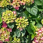 #5 Hydrangea mac Seaside Serenade Newport/Bigleaf/Pink Mophead