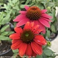 #1 Echinacea Tres Amigos/Coneflower