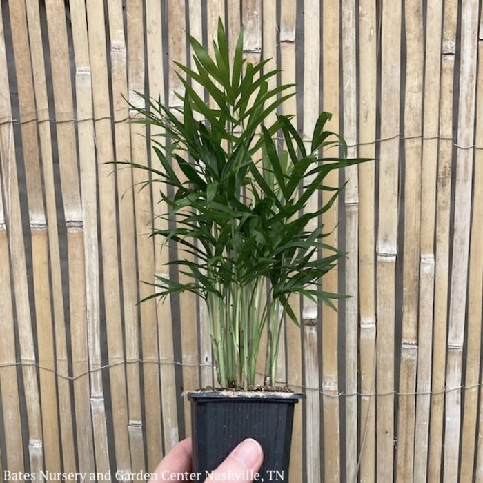 4p! Palm Neanthe Bella /Parlor Palm /Tropical