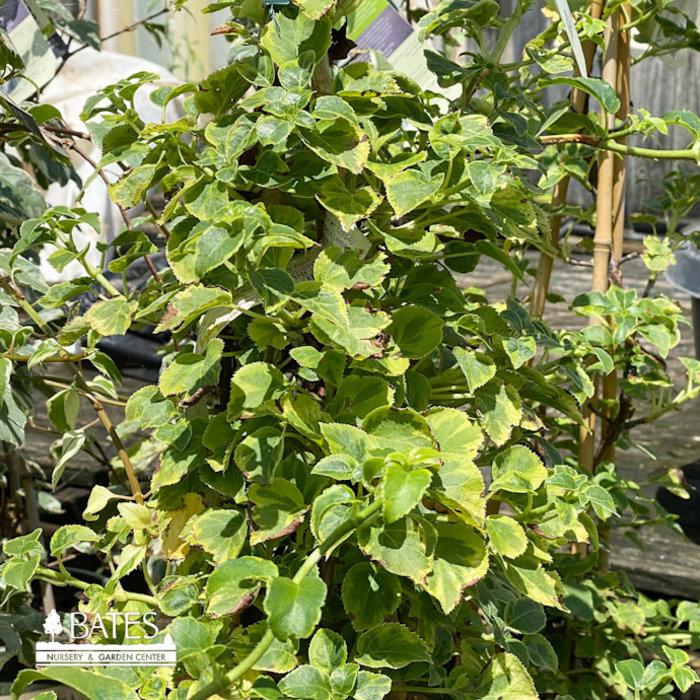 #2 Hydrangea petiolaris 'Miranda'/Climbing Variegated