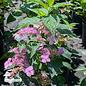 #3 Hydrangea ser Blue Billow/Mountain/Lacecap Blue to Pink