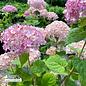 #3 Hydrangea arb Incrediball Blush/Smooth Pink (Annabelle Type)