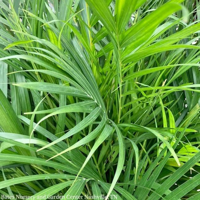 14p! Palm Dypsis lutescens / Areca Palm /Tropical