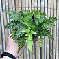 4p! East Indian Holly Fern /Tropical