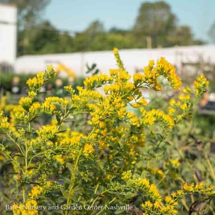 #1 Solidago Solar Cascade American Beauties/Goldenrod