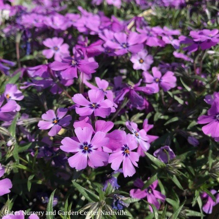 QP Phlox s. 'Purple Beauty'/Creeping