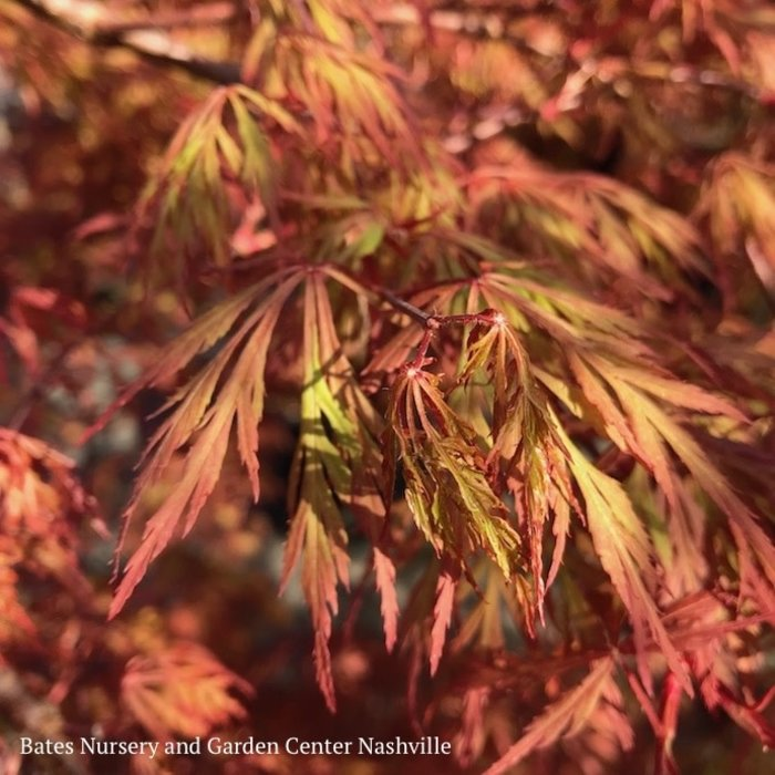 #10 Acer pal var diss Orangeola/Japanese Maple Red Weeping