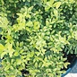 #2 Ilex Touch of Gold Holly