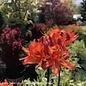 #2 Azalea x Mandarin Lights/Exbury Deciduous