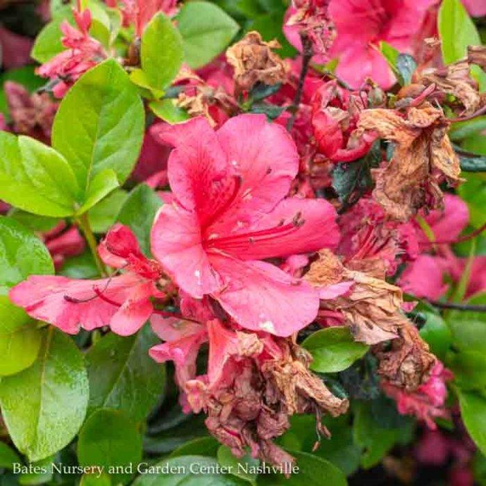 #3 Azalea Girard Crimson/Rose-red