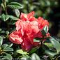 #3 Azalea Encore Autumn Monarch/Repeat/orange-pink