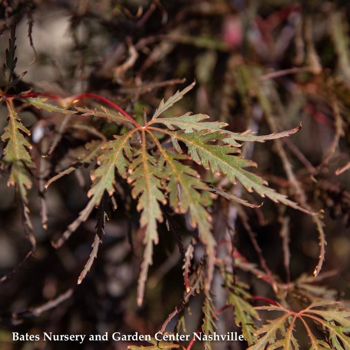 #15 Acer pal var diss Tamukeyama/Japanese Maple Red Weeping