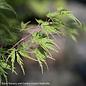 #5 Acer pal Seiryu/Japanese Maple Green Upright