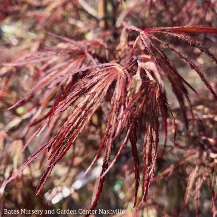 #6 Acer pal var diss Crimson Queen/Japanese Maple Red Weeping