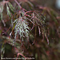 #15 Acer pal var diss Crimson Queen/Japanese Maple Red Weeping