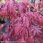 #15 Acer pal var diss Inaba Shidare/Red Select Japanese Maple Red Weeping