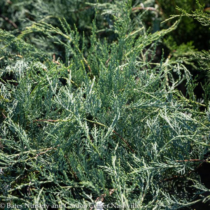 #3 Juniperus virg Grey Owl American Beauties/Juniper Spreading