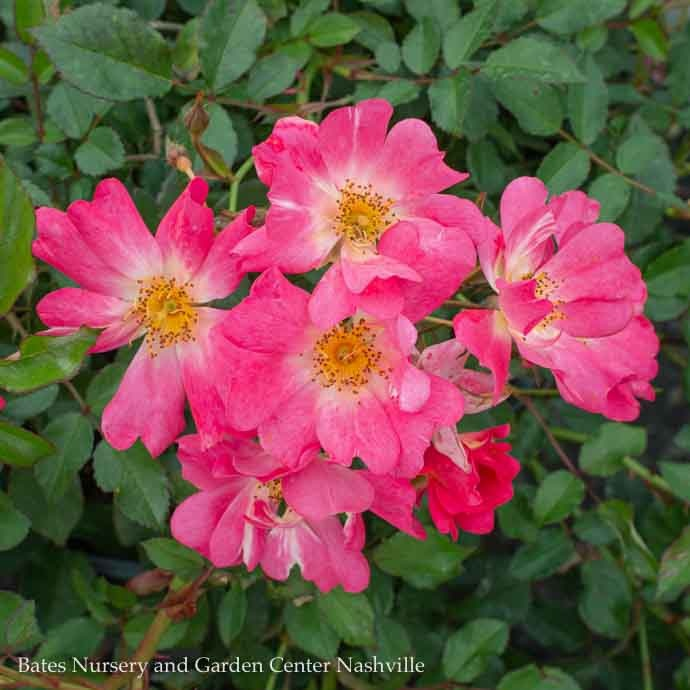 #2 Rosa 'Meijocos'/Pink Dwarf Drift Shrub Rose NO WARRANTY