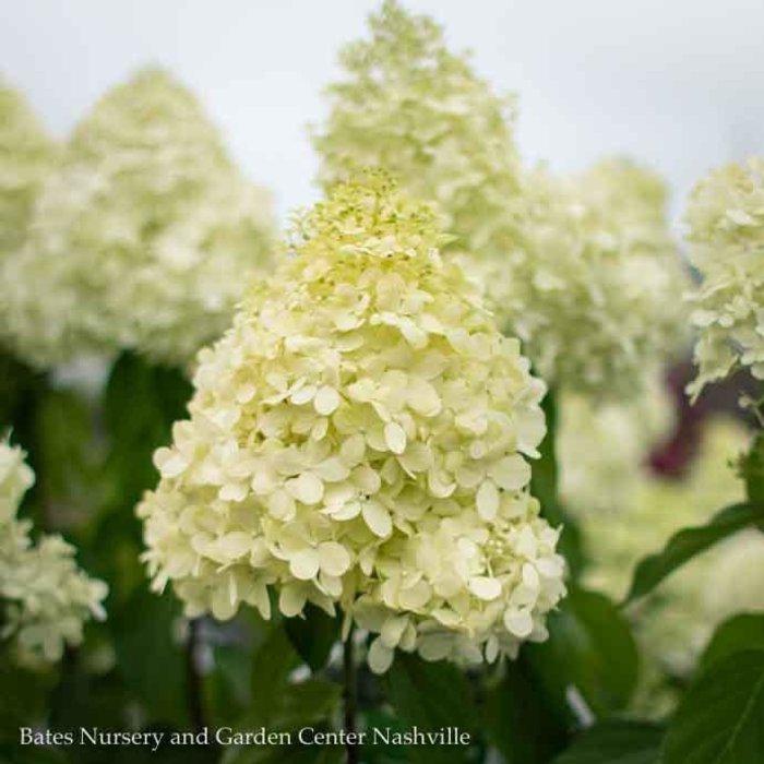 #15 Patio Tree Hydrangea pan Limelight/Panicle White