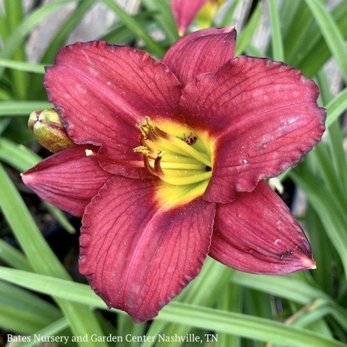 #1 Hemerocallis Ruby Stella/Red Daylily
